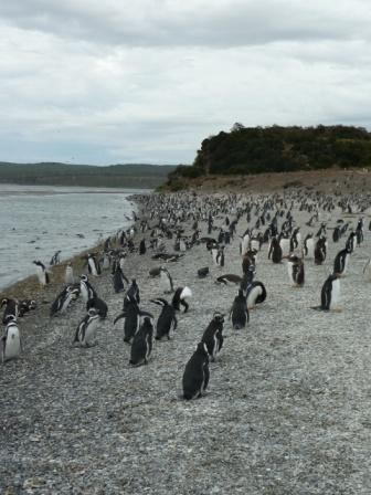 Pingüinera en Ushuaia