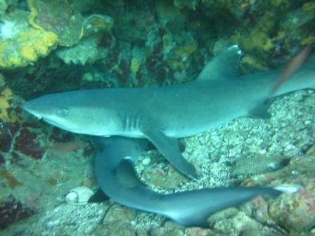 Tiburones de Arrecifes en Islas Galápagos, Ecuador
