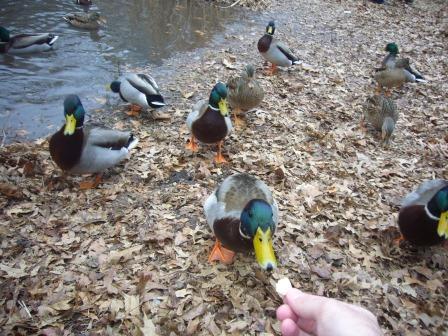 Alimentando patos en Central Park