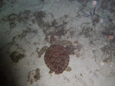 Tortuga Carey - Especie en peligro crítico de extinción. Se acerca a los arrecifes de coral en búsqueda de su presa preferida que son las esponjas de mar
