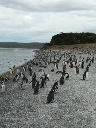 Tierra del Fuego - Pingüinera